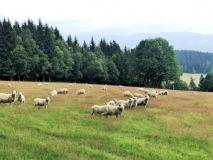 Ze sjezdovek jsou v létě pastviny.